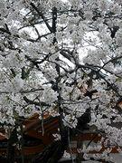 お花見会2007