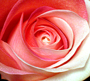 Rainbow Rose JAPAN
