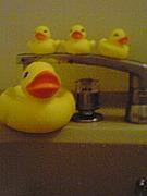 お風呂でアヒル