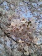 桜がせつない…