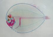 魚類二重染色透明骨格標本
