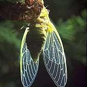 昆虫の羽根