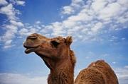CAMEL33代ヽ(●・v・●)ノ☆彡