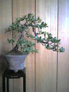 『ミニ盆栽の小部屋』