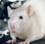 ラットが好きさ!    [Rat]