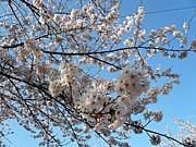 桜咲け!!