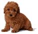 トイプードルブリーダーの子犬♡