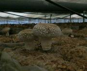 菌床椎茸栽培