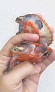 ニシキマゲクビガメ
