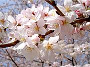 花見しよう【神奈川】