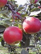 果実を皮ごと食す