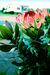 キングプロテア(king protea)