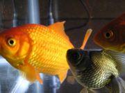 金魚と共生できる子 募集中♪