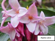 ピンクの沈丁花