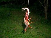 ザリガニを釣ろう!島田市周辺