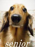 シニア小型犬