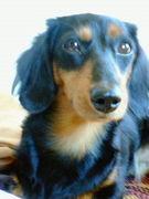 Mダックス☆迷い犬探してます!