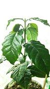 我が家のコーヒーの木たち