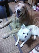 大型犬と小型犬の多頭飼い