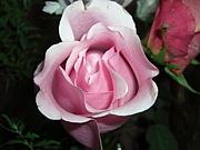 自宅にバラのある暮らし