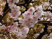 桜を愛でて酒を飲む会