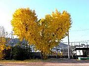 ハート型のイチョウの木