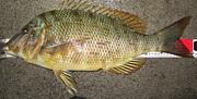 ハマフエフキ・タマンを釣りたい