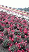 花とか 沖縄