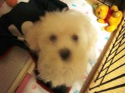 I LOVE マルチーズ ☆タラ