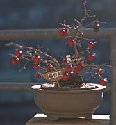 老鴉柿(ろうあがき)