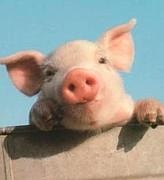 豚インフルエンザは怖くない