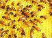 ハチミツ 蜂蜜 研究会