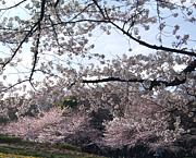 春の桜祭り!