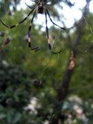 ジョロウグモ・コガネグモ大好き
