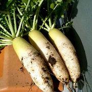 家庭菜園で自然農