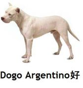 Dogo Argentino好