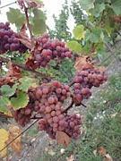 自分の育てた葡萄でワインを作る