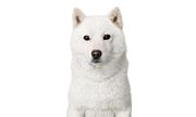softbank カイ君 お父さん犬