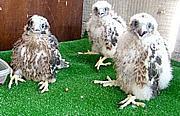 Tres Halcones