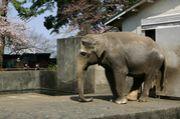象のウメ子を見守る会
