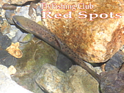 FlyFishing Club 「Red Spots」
