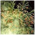花粉症とバージンオイル