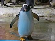Incredible Penguin