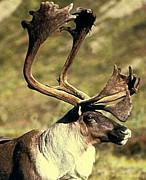 カリブー(Caribou)