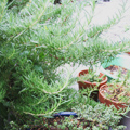 ハーブ(植物)
