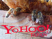 Yohoo!Japan@日本蜜蜂