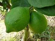 香酸柑橘類の栽培マニアの集い