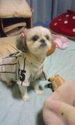 家の愛犬ちめこ(シーズー)