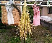 バケツ稲DE米作り
