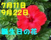 7/11 9/22生まれ ハイビスカス